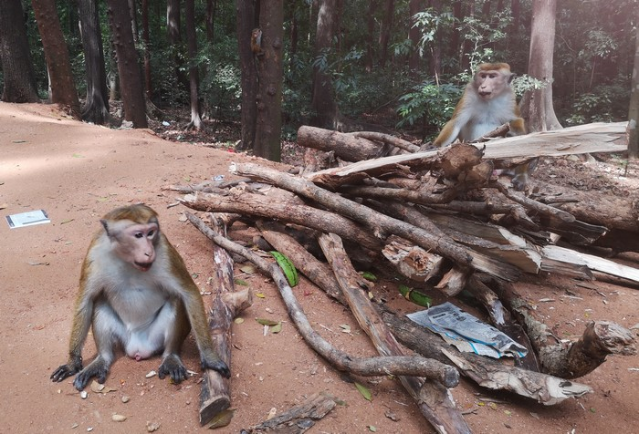 singes-sri-lanka