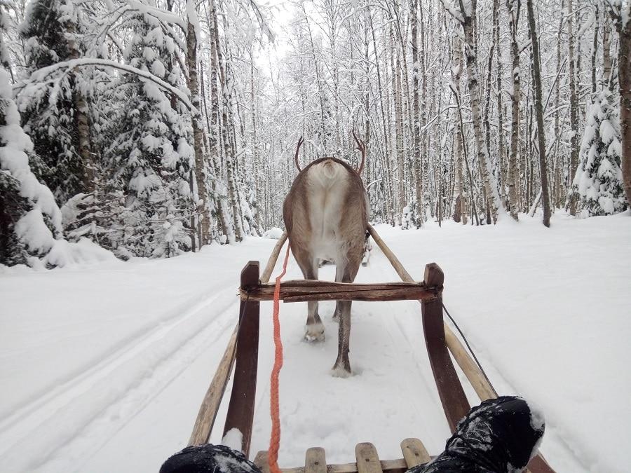 visite-ferme-rennes-rovaniemi-en-moto-neige