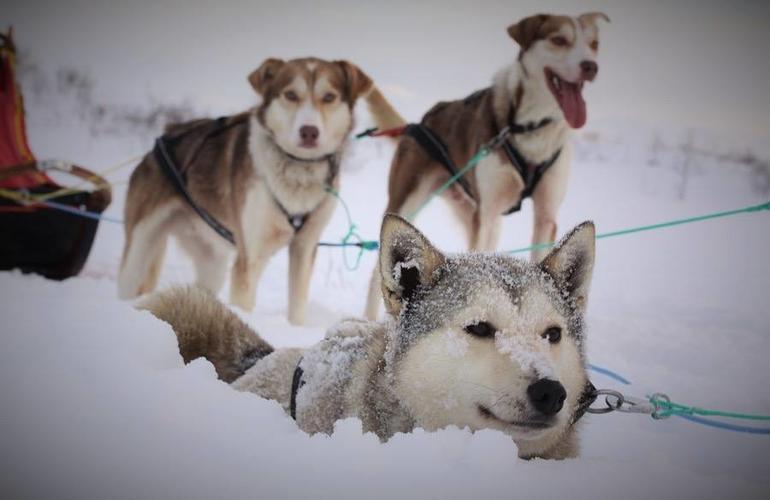 chiens-de-traineau-activité-Tromso-Norvège