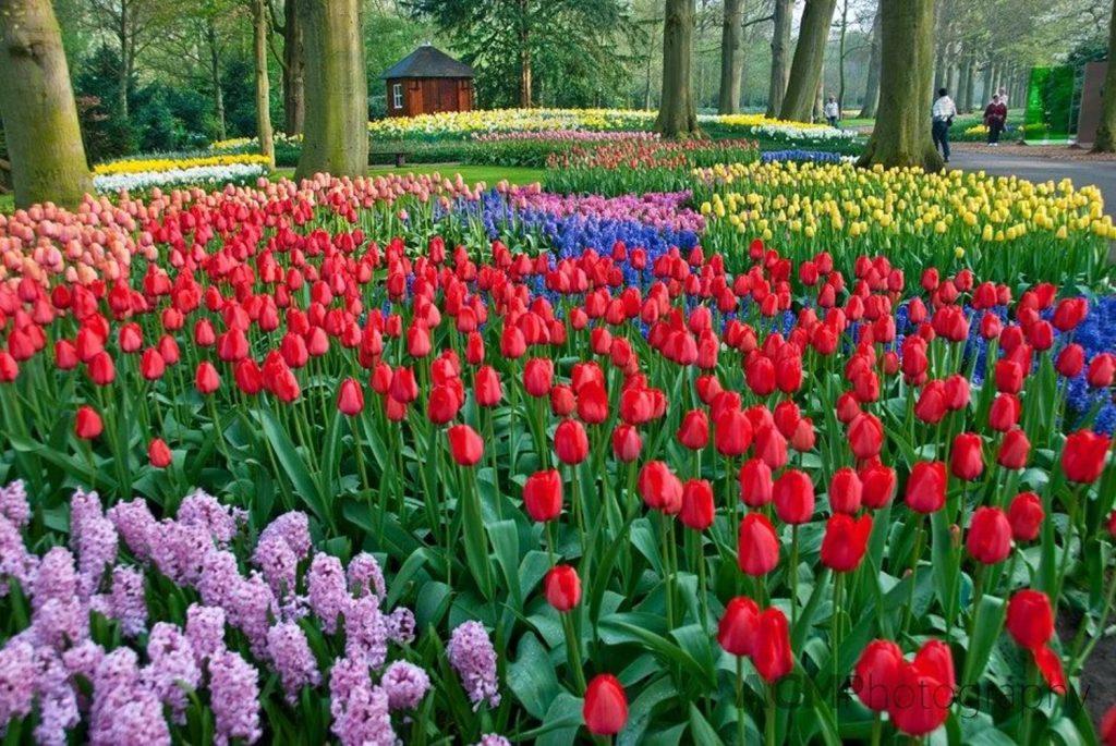 activite-amsterdam-region-zaanse-schans-champ-tulipes