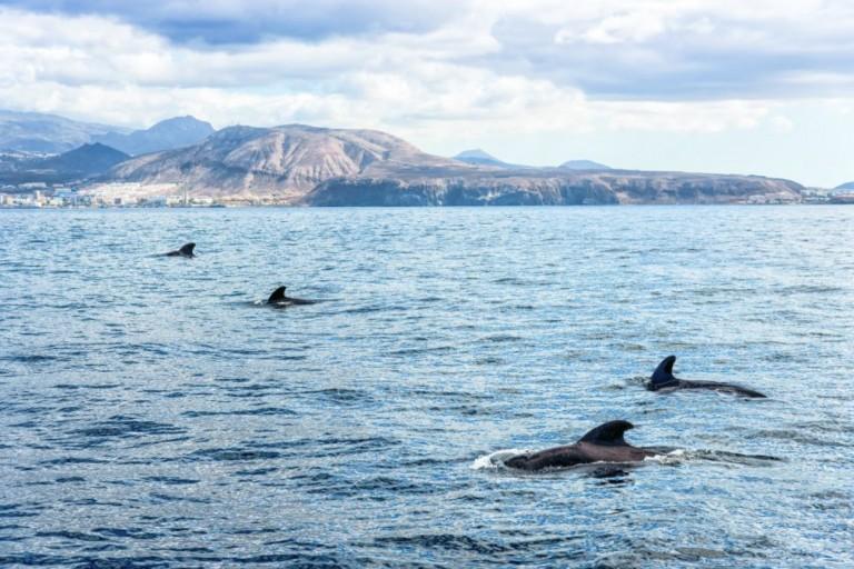 ecocroisiere-tenerife-dauphins